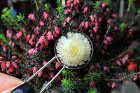 Булавка на лацкан или для кардигана с хризантемой