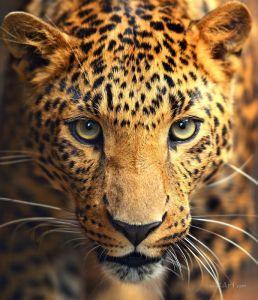Печатные картины на холсте Леопард