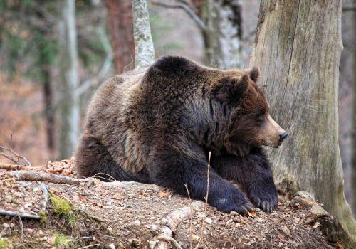 Бурый медведь - изображение 1