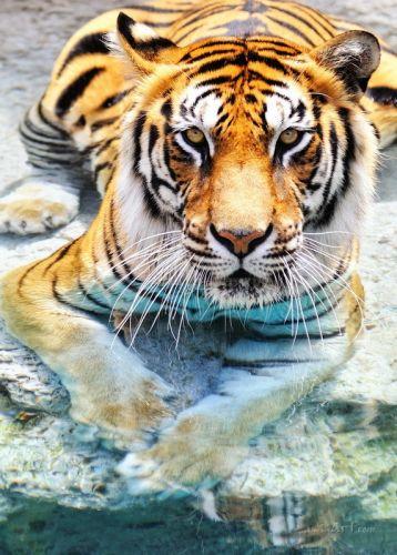 Тигр - изображение 1