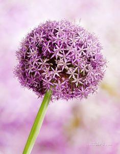 Фиолетовая цветок