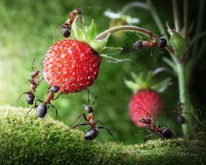 Муравьи и ягоды