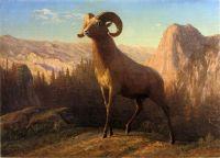 Горный баран, Монтана