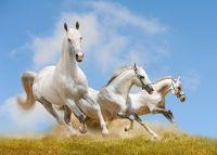 Білі конячки