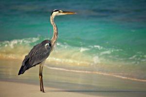 Фотокартины для интерьера Цапля на пляже утром