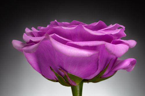 Фиолетовая роза