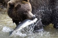 Ведмідь з рибою