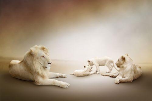 Семейство белых львов