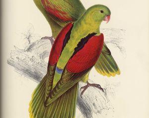 Попугай с багровыми крыльями