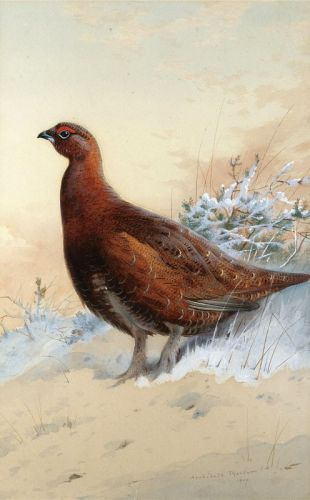 A red grouse in the snow