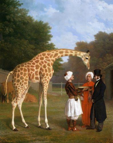 Нубийский жираф