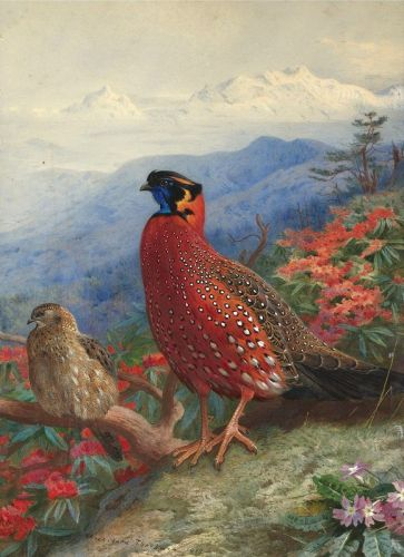 A pair of satyr tragopans