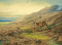 In the highlands red stag mobbed by a pair of peregrines