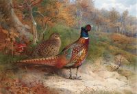 A hen and a cock pheasant