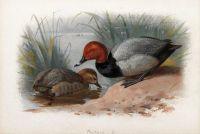 A pair of pochard