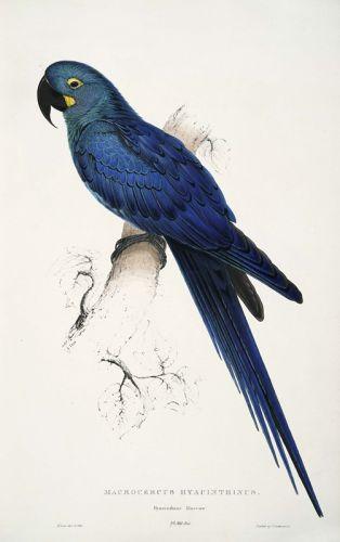 Гиацинтовый ара - изображение 1