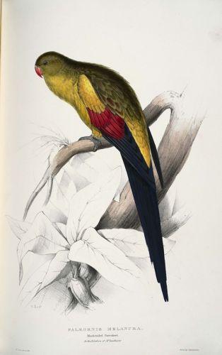 Черно-хвостатый попугай