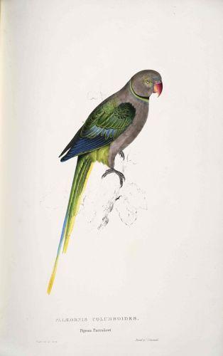 Голубь-попугай