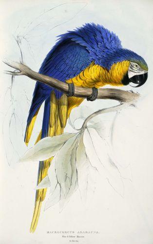 Сине-желтая ара