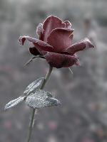 Роза под инеем