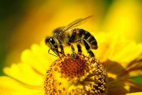 Пчела и цветок