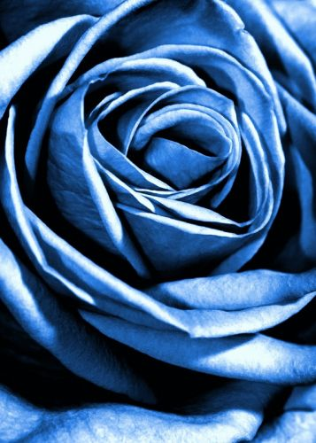 Голубая роза - изображение 1