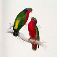 Рубиновый лори-отшельник