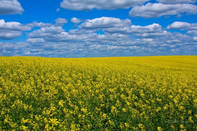 Желтое поле, синее небо  печать на холсте, натянут UkrainArt - фото 1