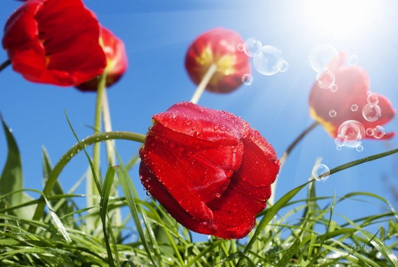 Тюльпаны на солнце  печать на холсте, натянут UkrainArt - фото 1