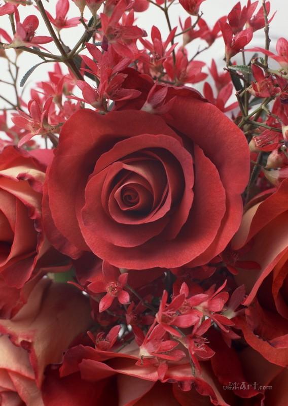 Роза  печать на холсте, натянут UkrainArt - фото 1