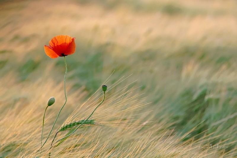 Цветок в поле  печать на холсте, натянут UkrainArt - фото 1