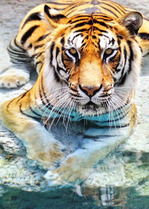 Тигр  печать на холсте, натянут UkrainArt - фото 1