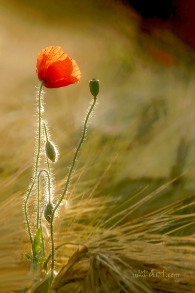 Цветок мака  печать на холсте, натянут UkrainArt - фото 1