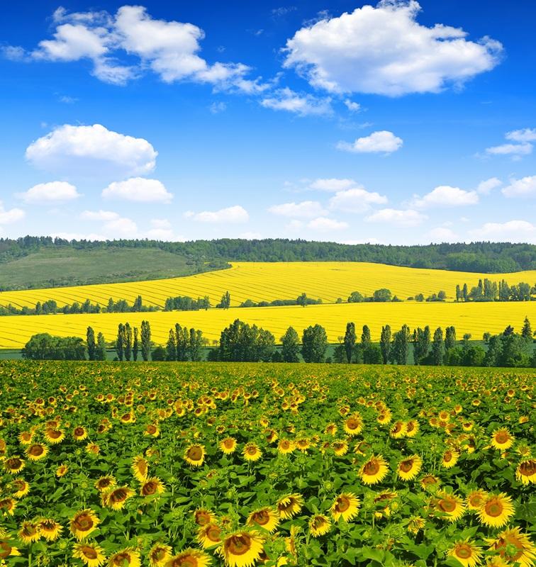 Весенний пейзаж с подсолнухами  печать на холсте, натянут UkrainArt - фото 1