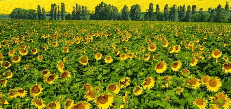 Весенний пейзаж с подсолнухами №1  печать на холсте, натянут UkrainArt - фото 4