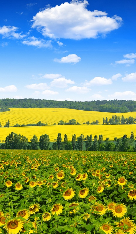 Весенний пейзаж с подсолнухами №2  печать на холсте, натянут UkrainArt - фото 3