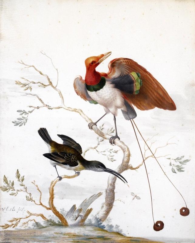 Райские птицы Arachnothera и Cicinnurus regius  печать на холсте, натянут Хенстенбург Герман - фото 1